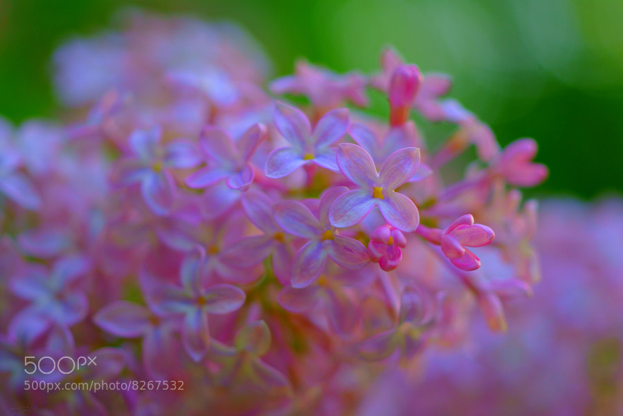 Naturally Fresh ~ Spring LIlac by Julia Adamson (AumKleem)) on 500px.com