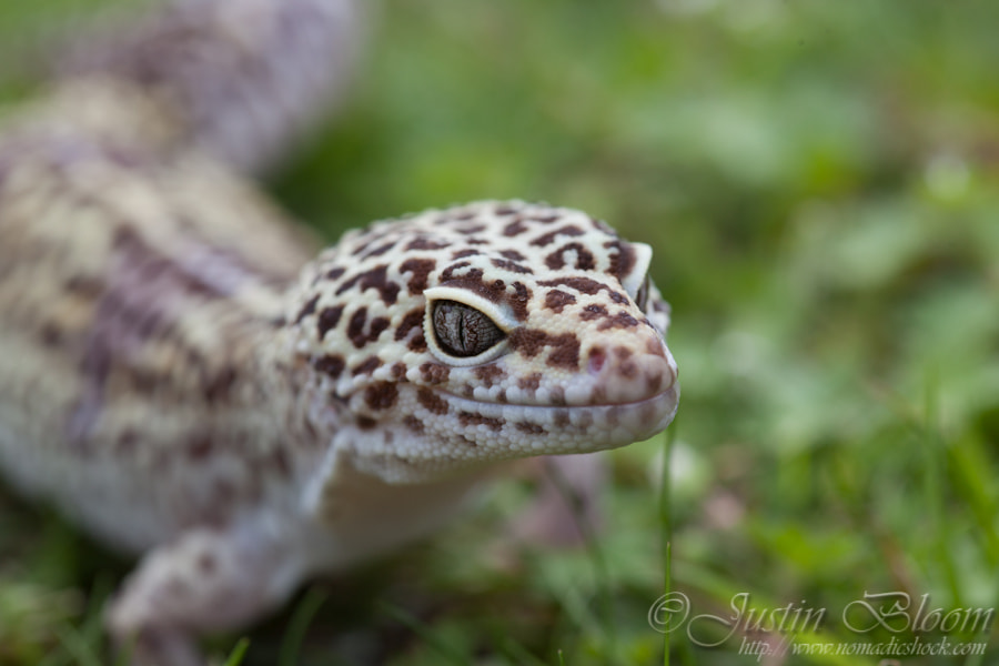 Photograph Gecko by Justin Bloom on 500px