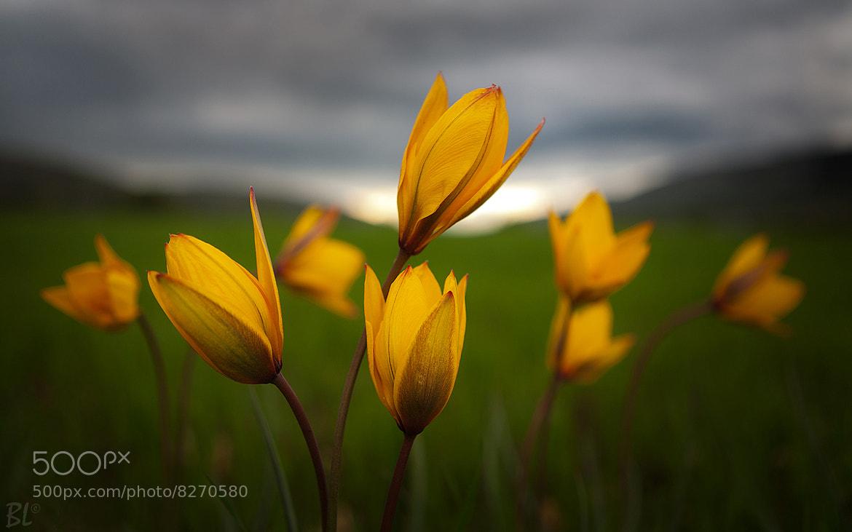 Photograph Tulipa sylvestris by Leonardo Battista on 500px