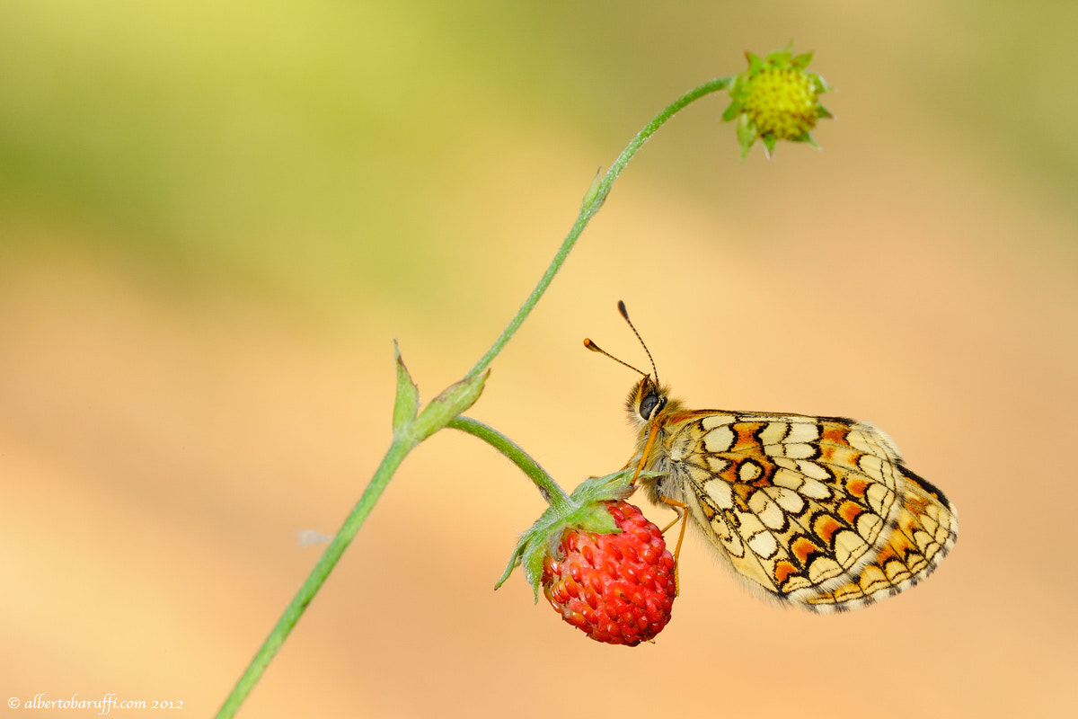 Photograph Strawberry butterfly by Alberto Baruffi on 500px