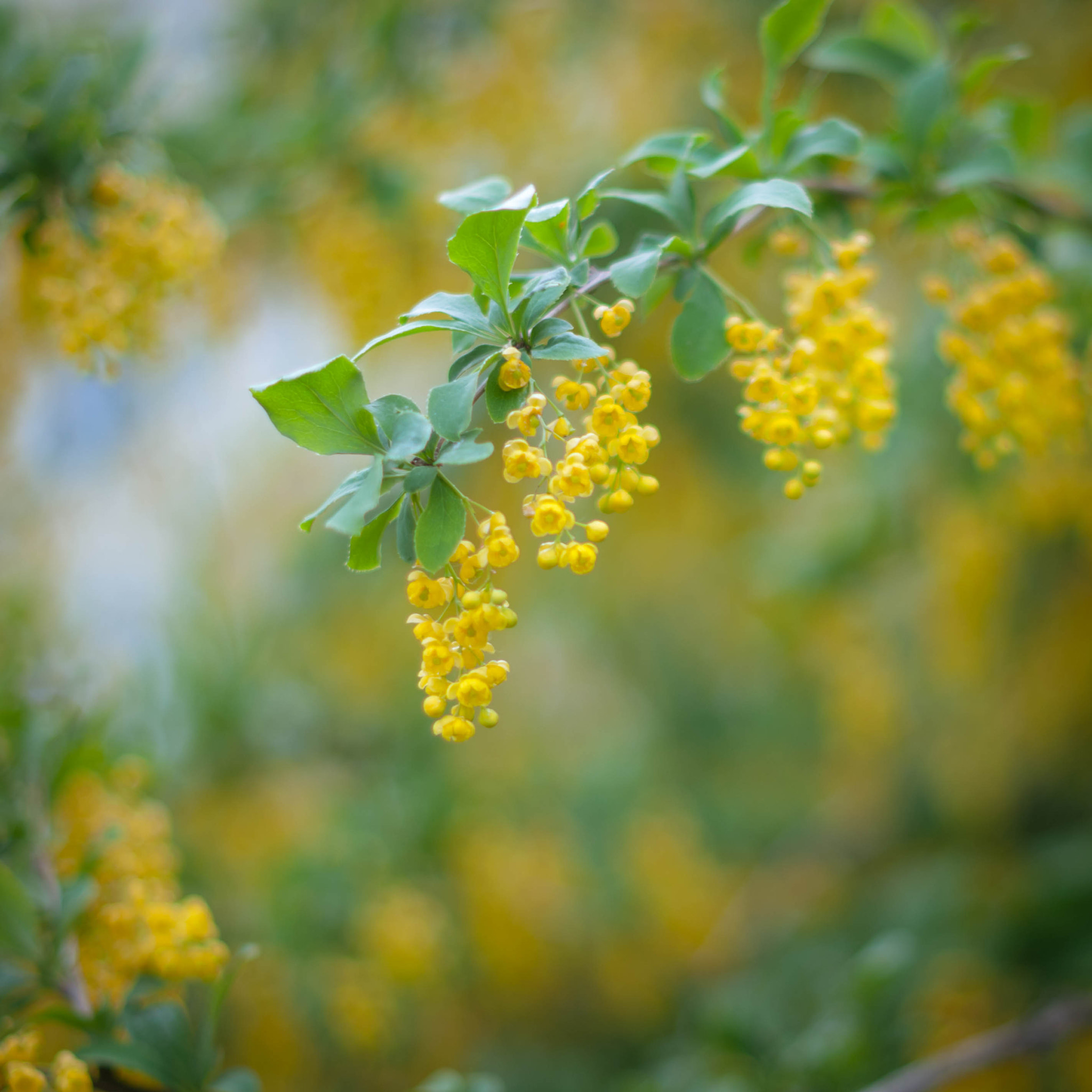 Photograph Barberry II by Victoria Gubko on 500px