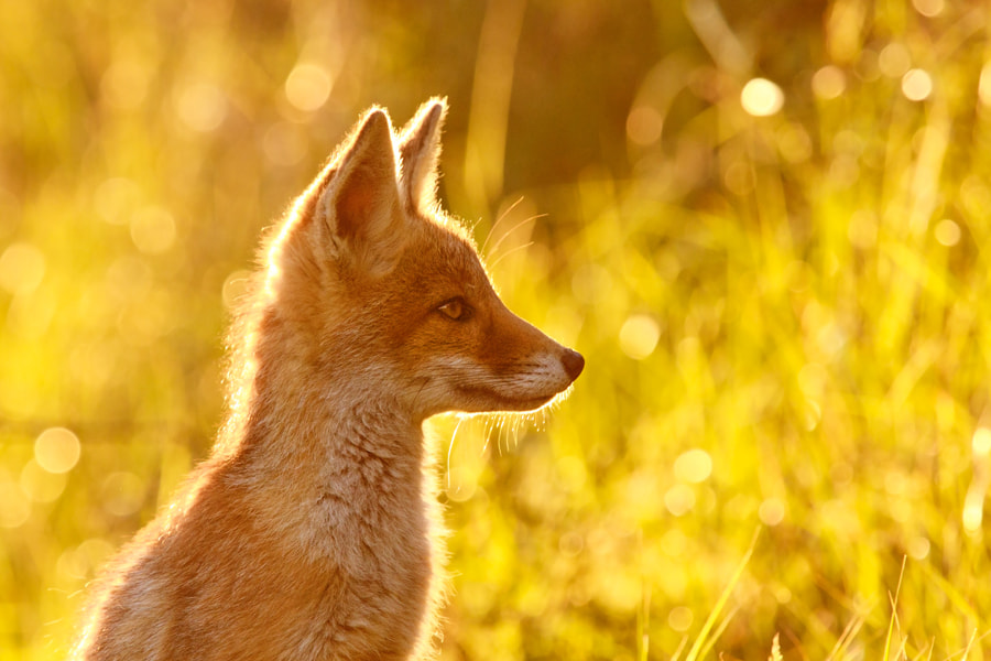 Photograph Le P'tit Renard by Roeselien Raimond on 500px