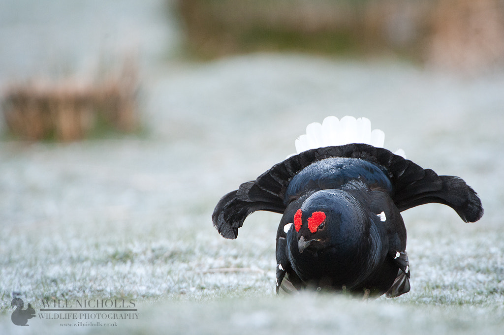 Photograph Black Grouse Rumbling by Will Nicholls on 500px