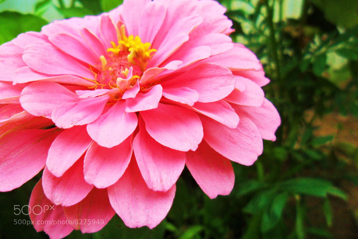 Photograph Pink Zinnia  by Molly Rhodes on 500px