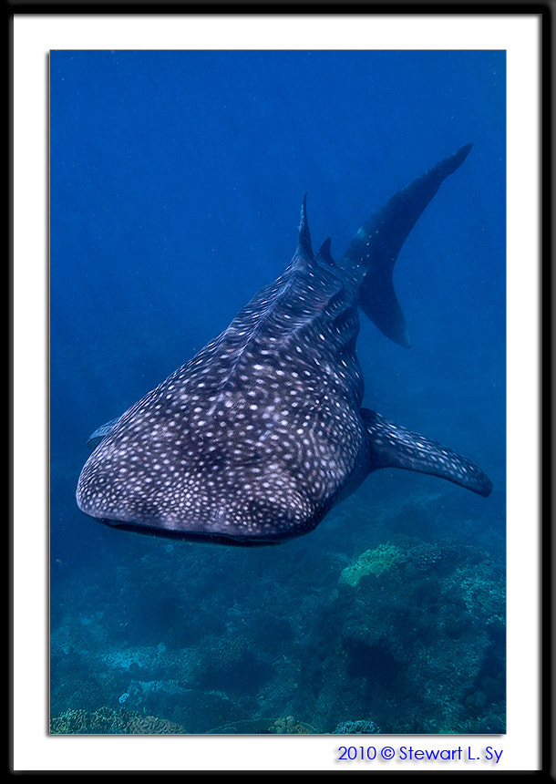 Photograph Whaleshark! by Stewart L. Sy on 500px