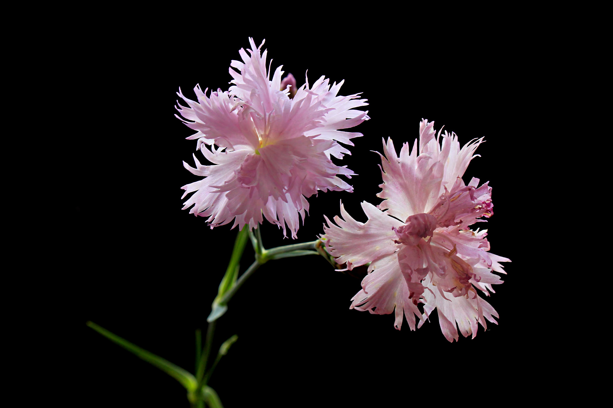 Photograph Carnation by Vendenis   on 500px