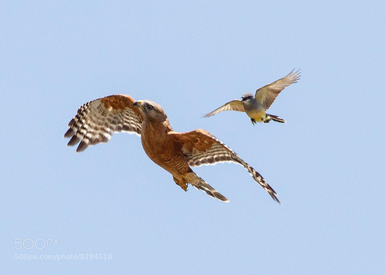 Photograph Kingbird Bully I by Carl Jackson on 500px