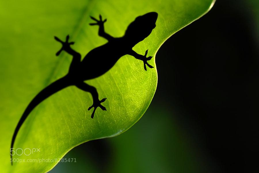 Photograph Leaf Gecko by Carlos Gotay on 500px