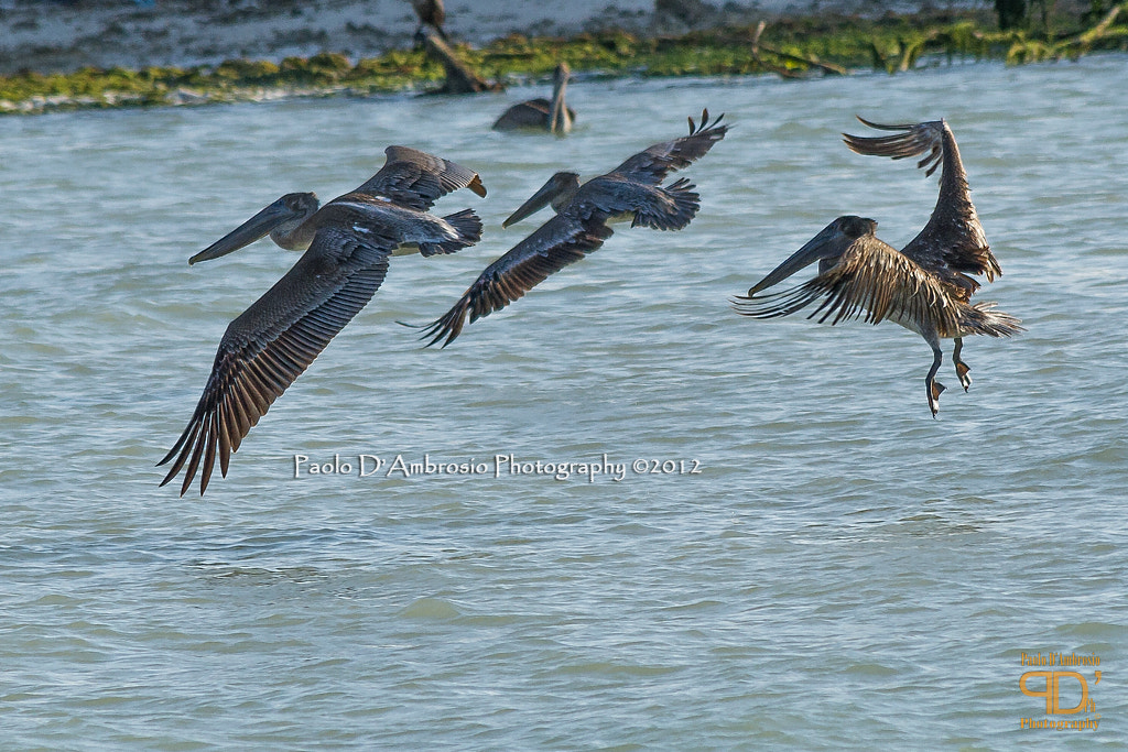 Photograph Brown pelicans I by Paolo D'Ambrosio on 500px