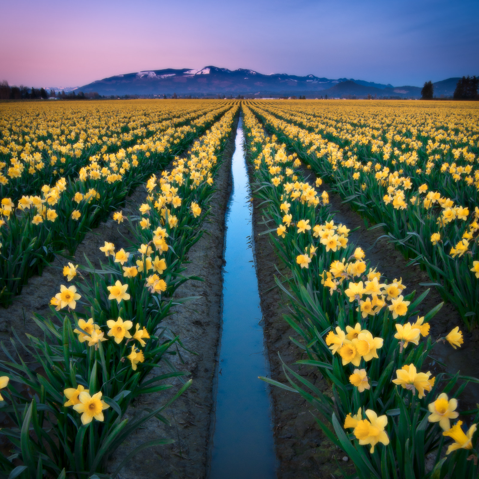 Photograph Skagit Valley Daffodils by Jay D. on 500px