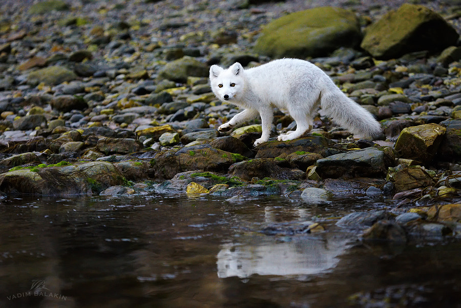 Photograph Sneaking Arctic Fox by Vadim Balakin on 500px