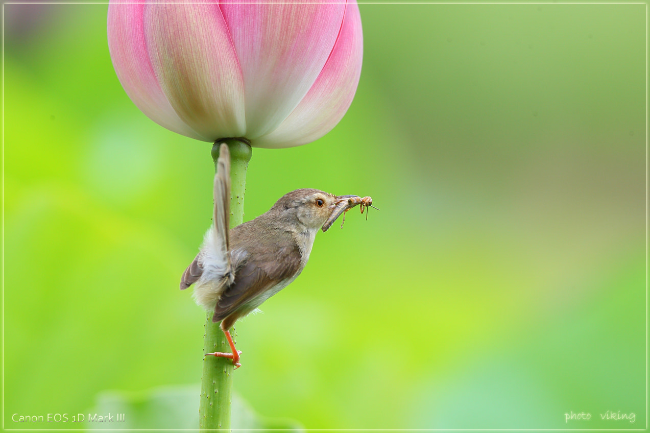 Photograph Yellow-bellied prinia  by single chen on 500px