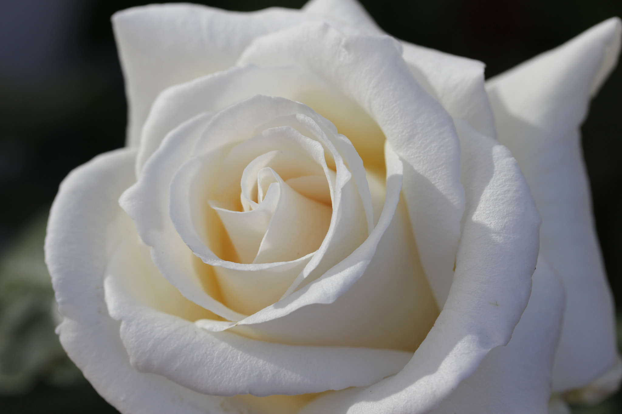 Photograph White rose II by Jean Allenet on 500px