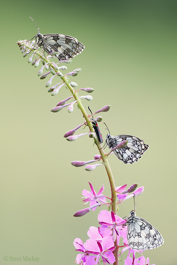 Photograph Three Marbled Whites by Steve Mackay on 500px