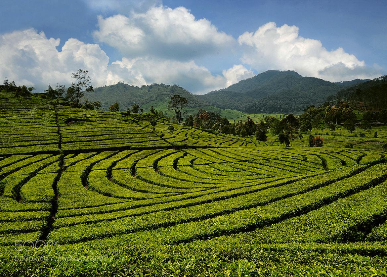 Photograph Tea Garden by Mieke Suharini on 500px