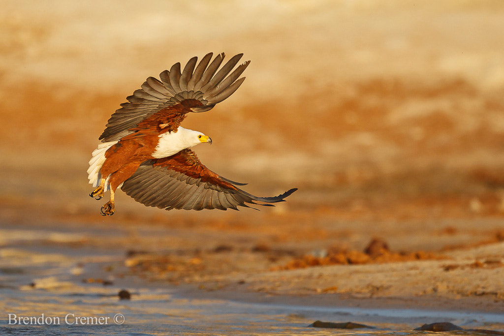 Photograph African Fish Eagle by Brendon Cremer on 500px