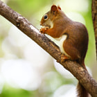 Постер, плакат: Cute Toronto red squirrel