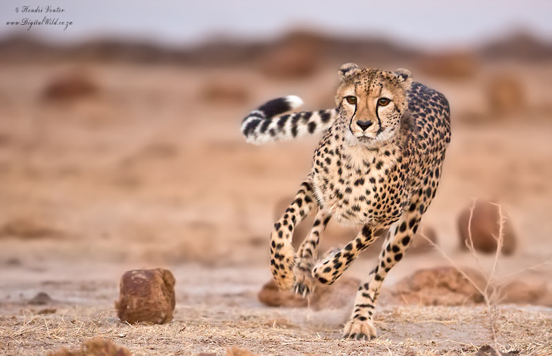 Photograph Sprinting Cheetah by Hendri Venter on 500px