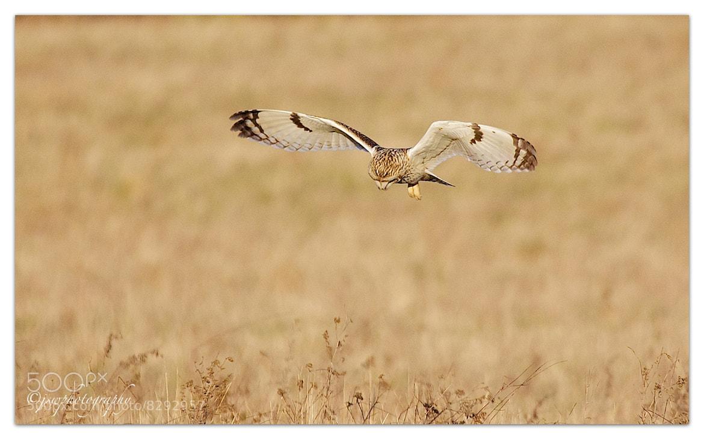 Photograph Short Eared Owl  by Jason Wood on 500px