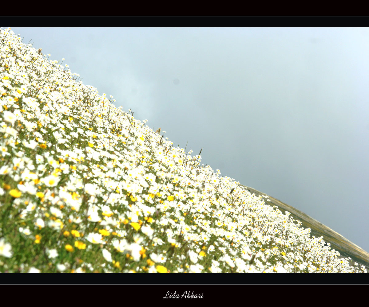 Photograph Chamomile weald by happy girl on 500px