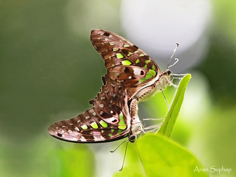 Photograph หนอนจำปีธรรมดา(Tailed Jay) by Anan Suphap on 500px