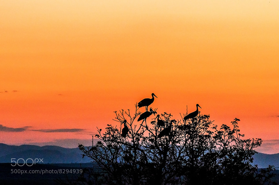 Photograph Storks @ Dusk by MARIAN Gabriel Constantin on 500px