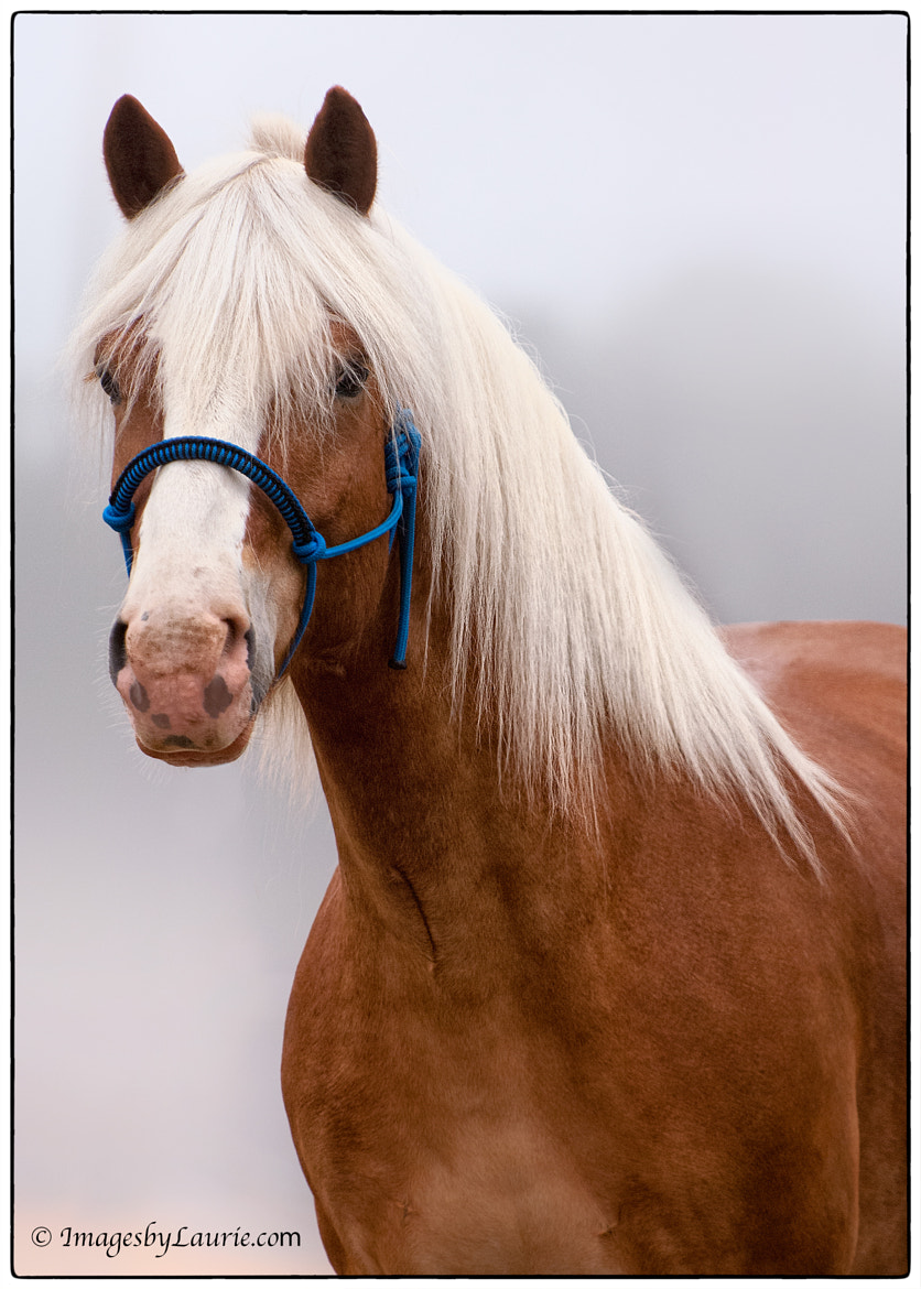 Photograph Portrait of  Haflinger by Laurie Rubin on 500px