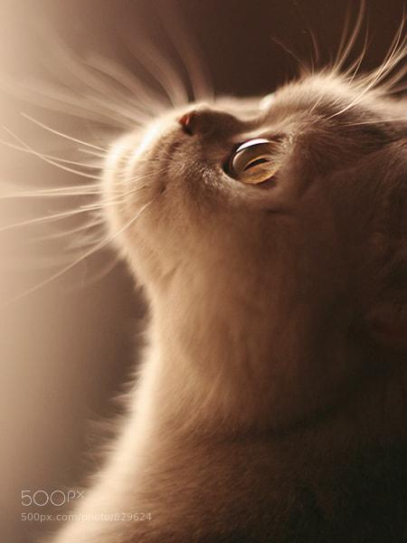Closeup portrait of a white cat