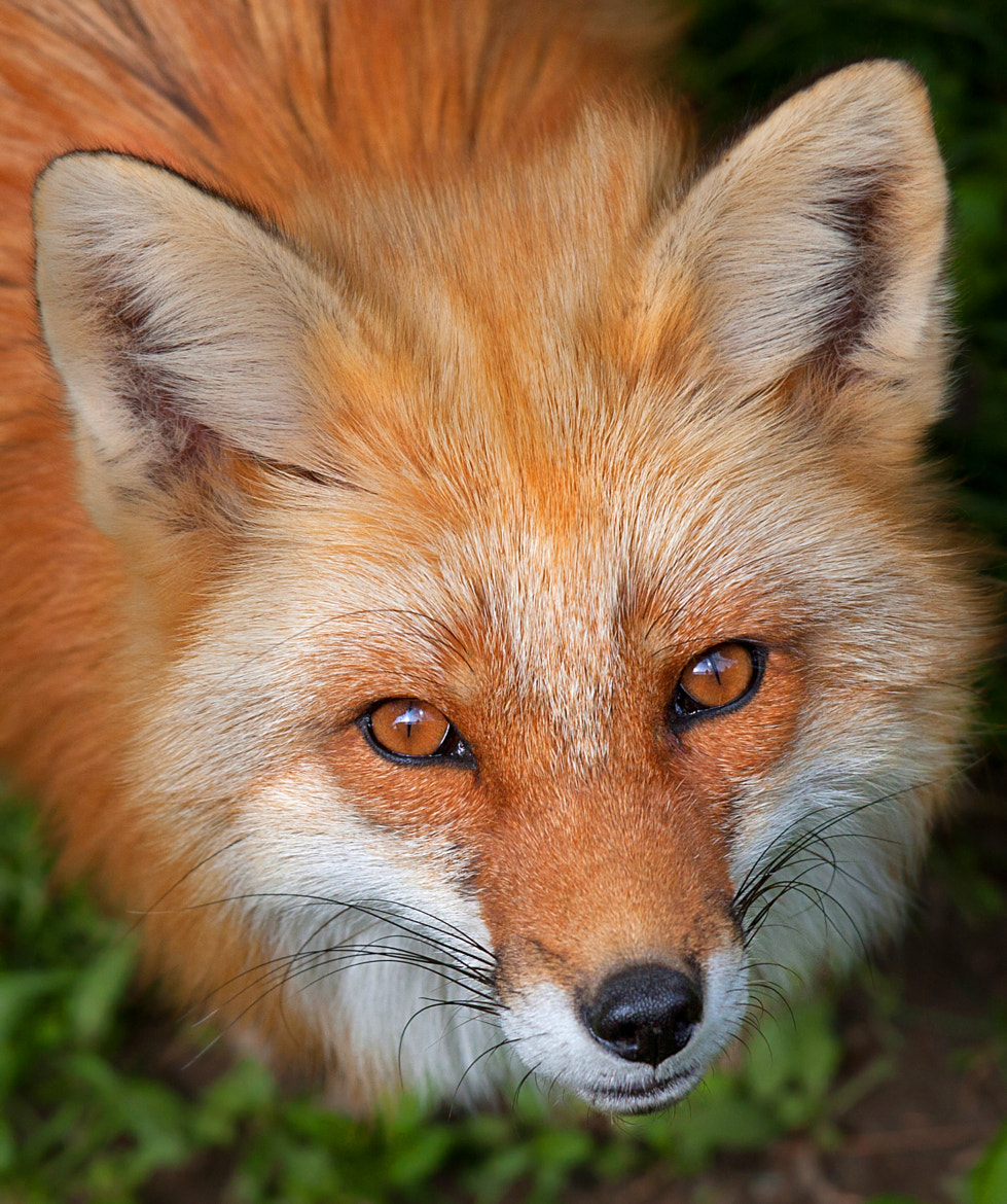 Photograph Red Fox by Jim Cumming on 500px
