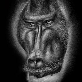 Monkey | Pavian