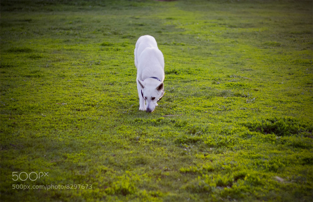Photograph White shepherd dog by Brooklyn August on 500px