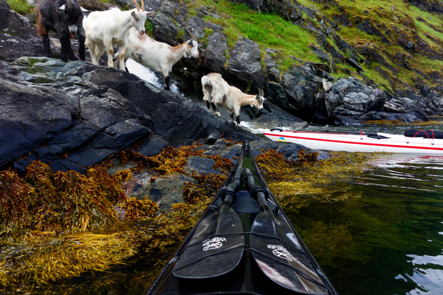goats in Aurlandsfjord by Tomasz Furmanek on 500px.com