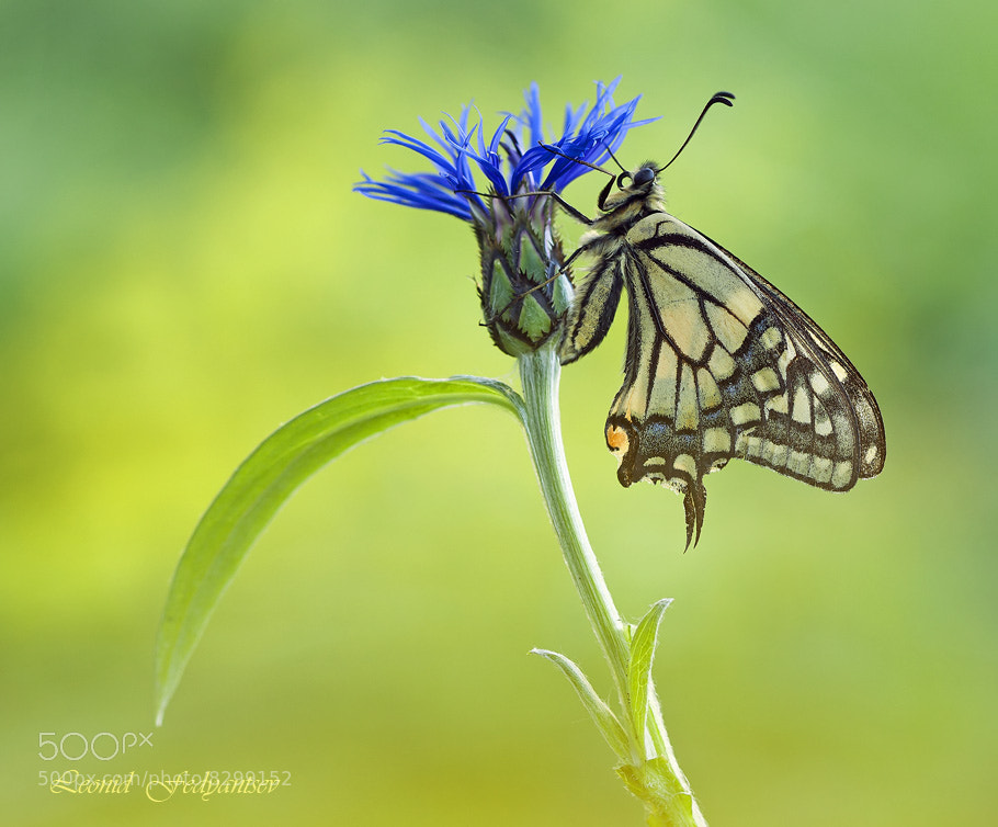 Photograph Sketch With Cornflower And Swallowtail by Leonid Fedyantsev on 500px