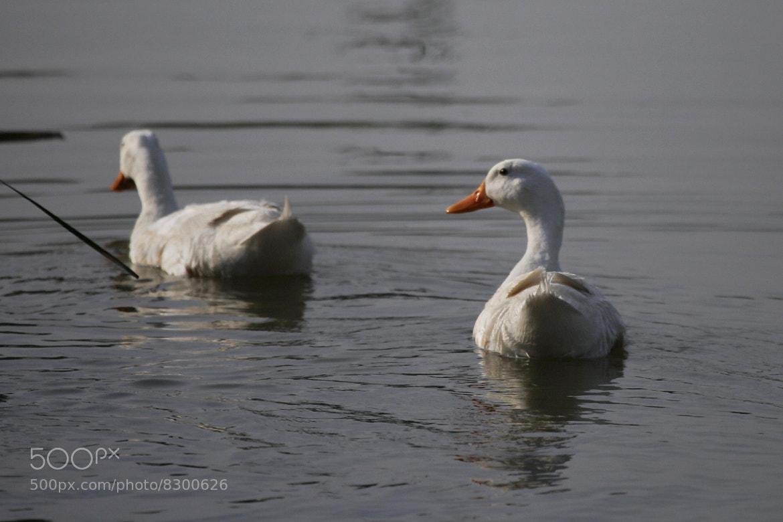 Photograph Ducks by Vivian Garciaferro on 500px