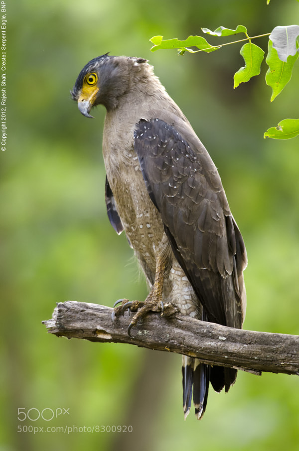 Photograph Crested Serpent Eagle by Rajesh Shah on 500px