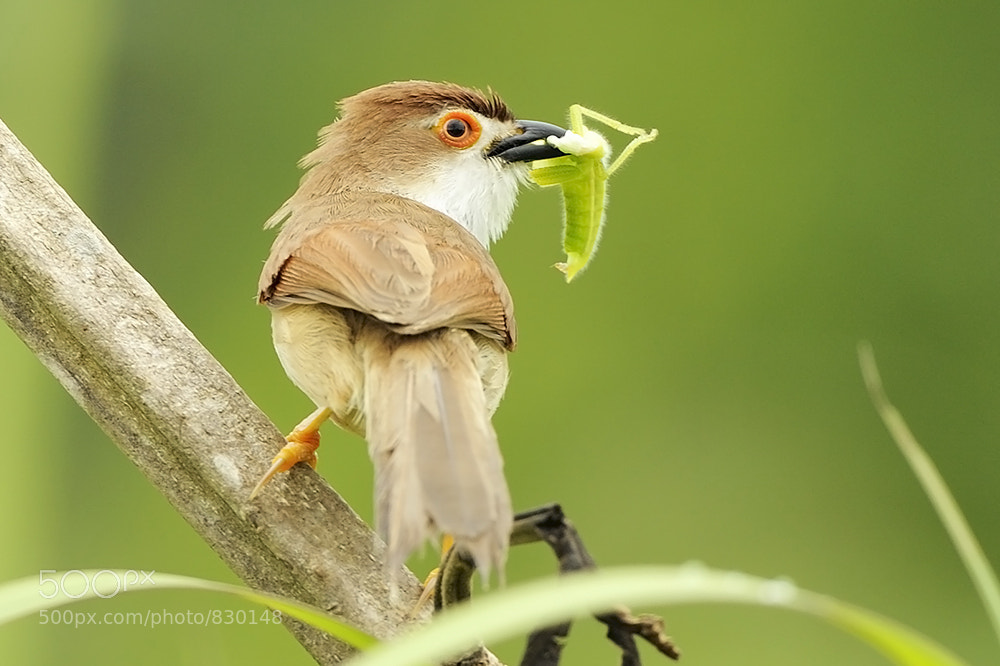 Photograph Yellow-eyed Babbler by Art Man on 500px