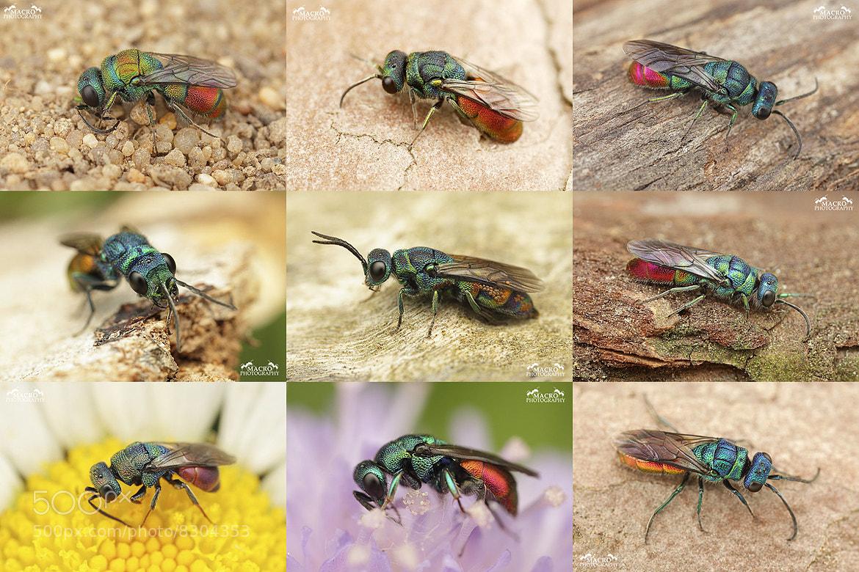 Photograph Amazing cuckoo wasps by Pavel Krásenský on 500px