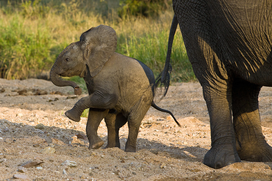Photograph Baby Elephant Walk by Jochen Van de Perre on 500px