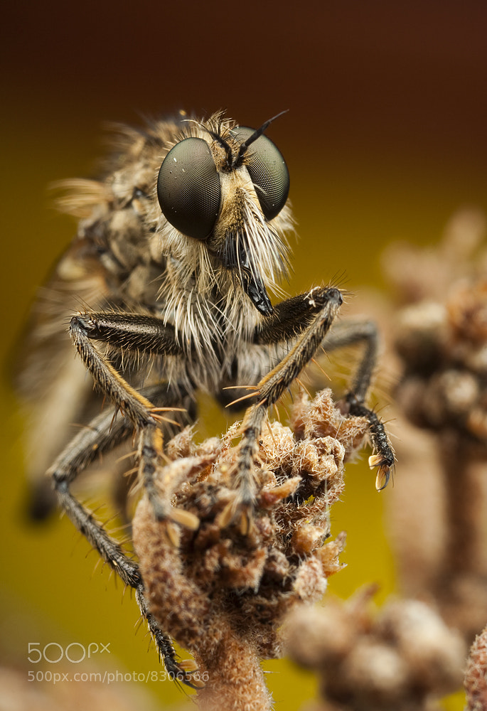 Photograph Robber Fly by Alistair Campbell on 500px