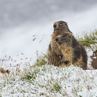 ������, ������: Marmots in Snow