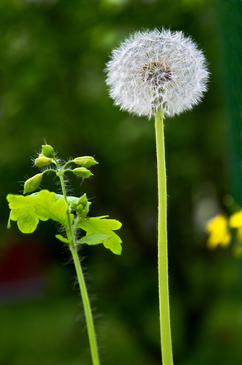 Photograph Dandelion theme by Konstantin Ampilogov on 500px