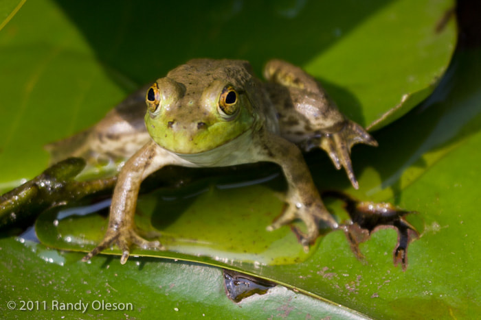 Photograph Young Frog by Randy Oleson on 500px