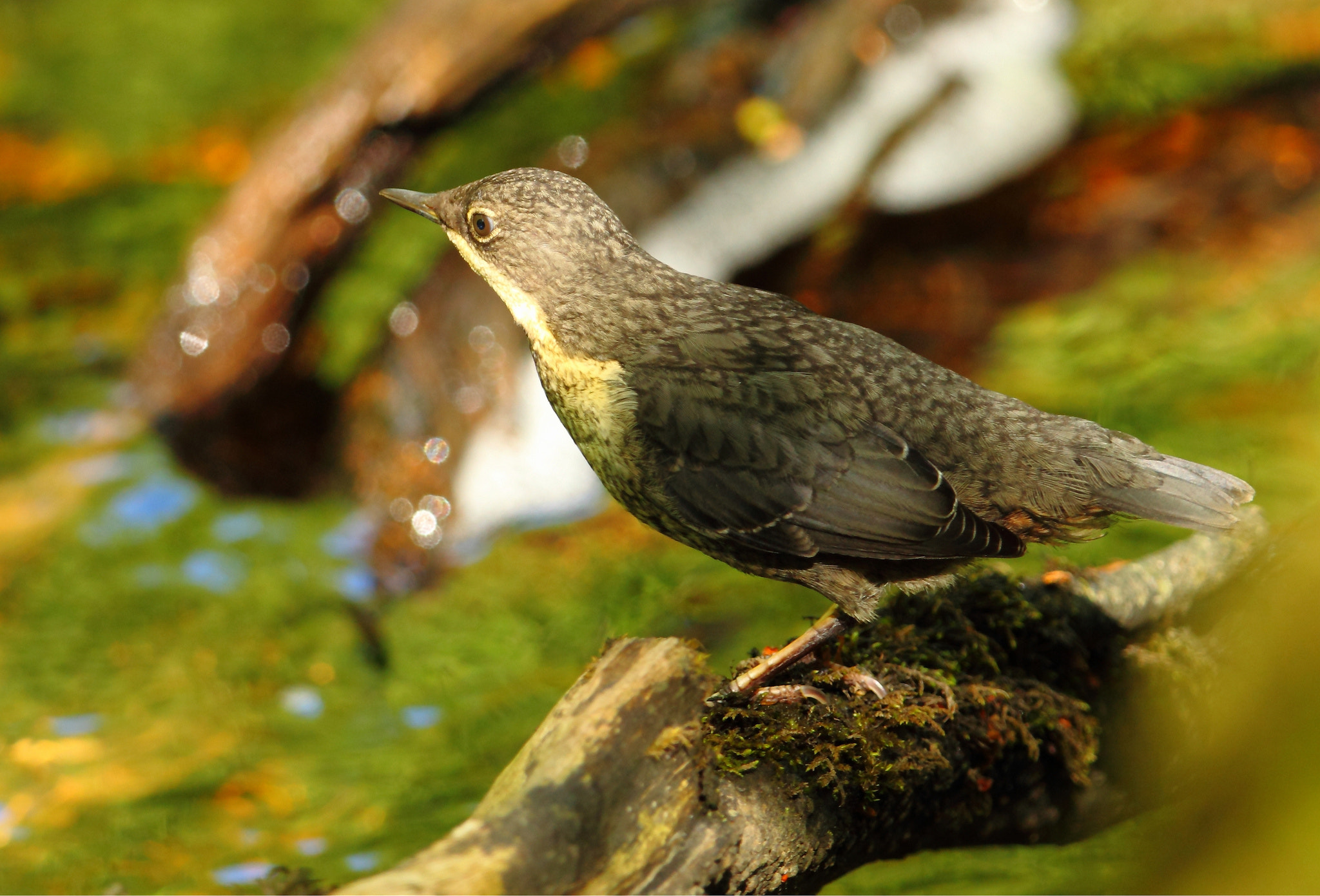 Photograph Baby Dipper juvenile by Steven Ward  on 500px