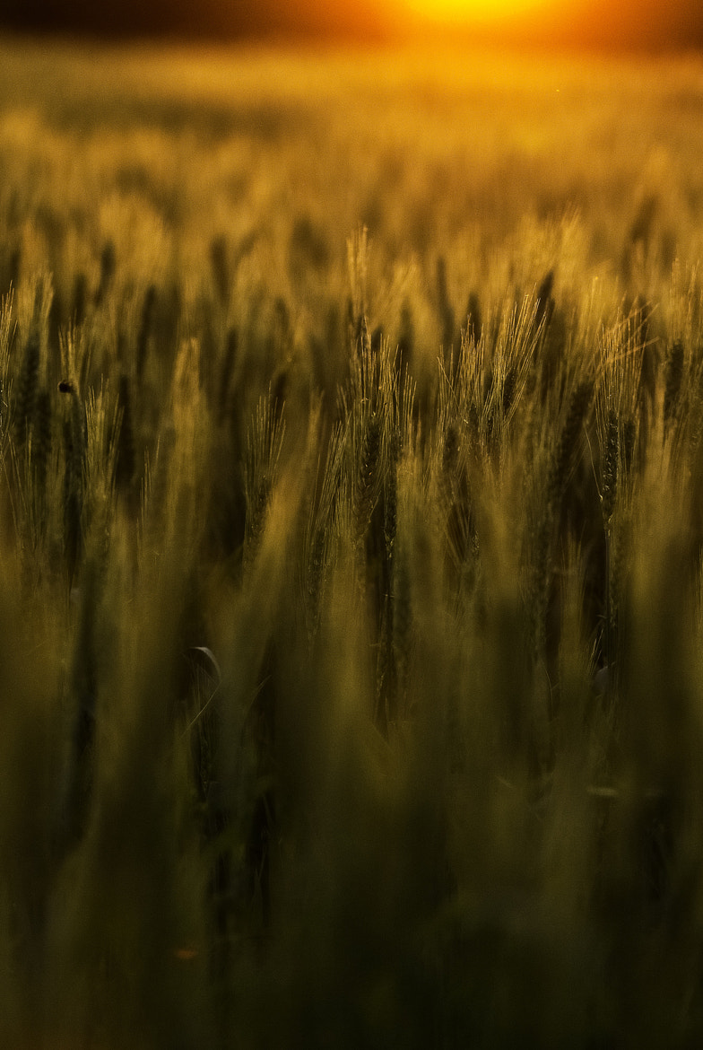 Photograph Sunset Playing in the Wheat by Elena Simona Craciun on 500px