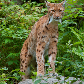 Lynx by Rob Janné (Rob_Janne)) on 500px.com