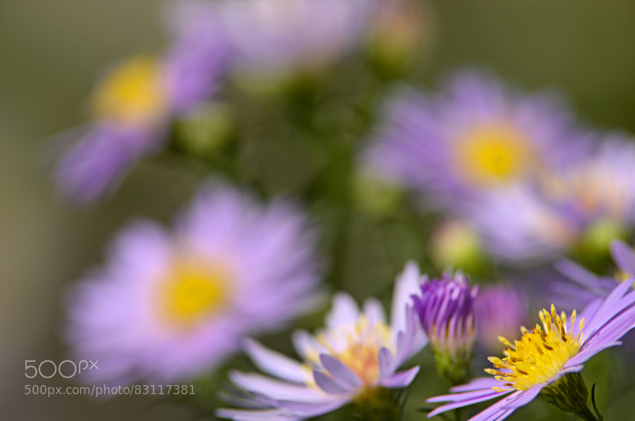 Photograph aster by paul andrews on 500px