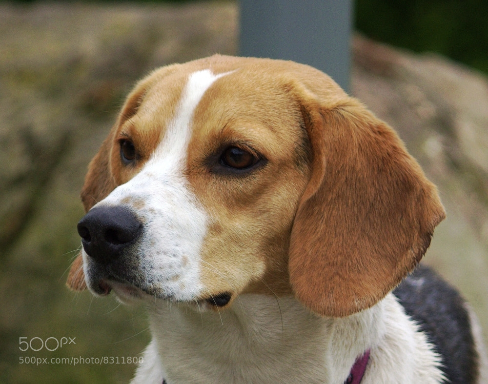 Photograph Meg, the beagle by Chrissie Barrow on 500px