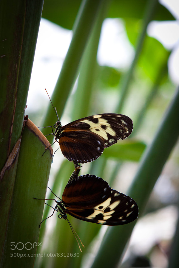Photograph Mating Butterflies by Tim Ford on 500px