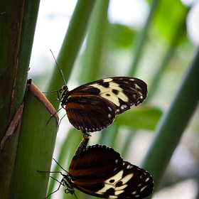 Mating Butterflies by Tim Ford (TimFord)) on 500px.com