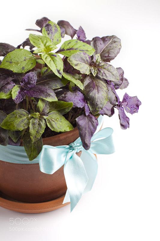 Photograph Fresh basil in pot  by Elena Rakhuba on 500px